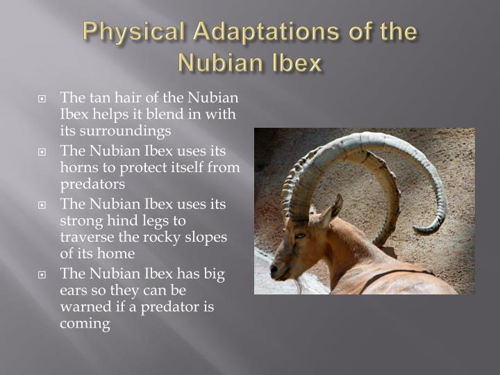 Physical adaptations of the nubian ibex