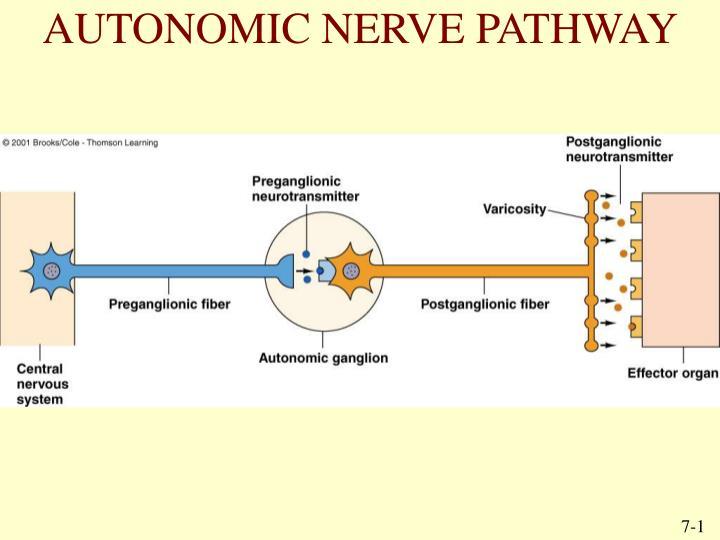 AUTONOMIC NERVE PATHWAY