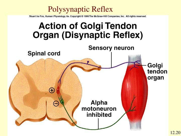 Polysynaptic Reflex
