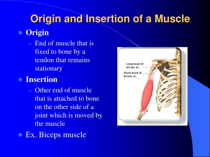 Origin and Insertion of a Muscle