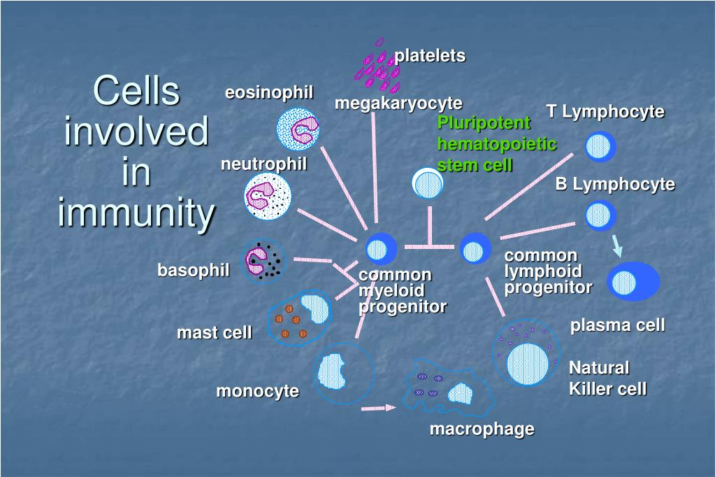 Cells involved in immunity