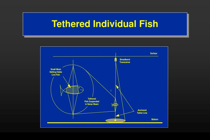 Tethered Individual Fish