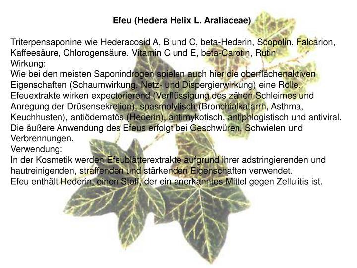 Efeu (Hedera Helix L. Araliaceae)