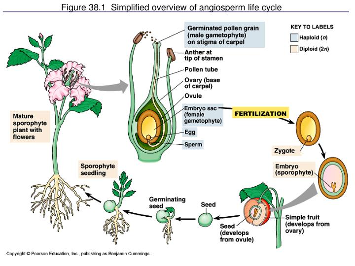 Figure 38.1  Simplified overview of angiosperm life cycle