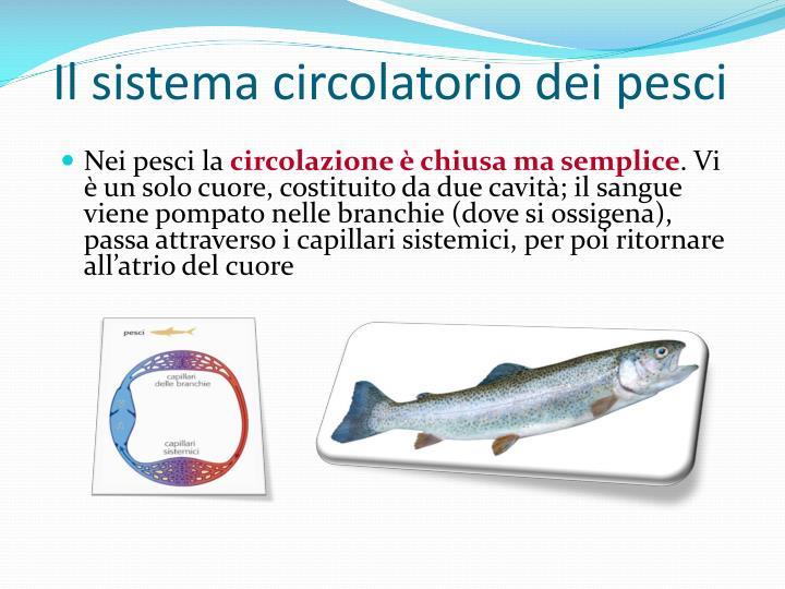 Il sistema circolatorio dei pesci