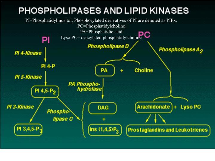 PI=Phosphatidylinositol, Phosphorylated derivatives of PI are denoted as PIPx.