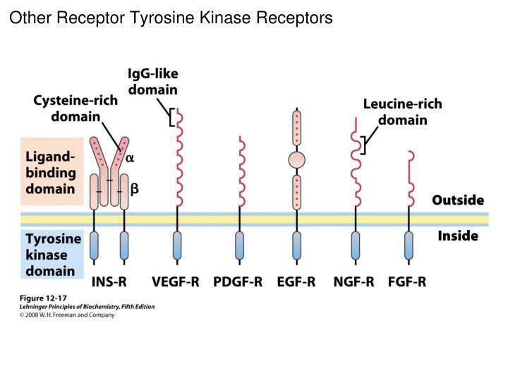 Other Receptor Tyrosine Kinase Receptors