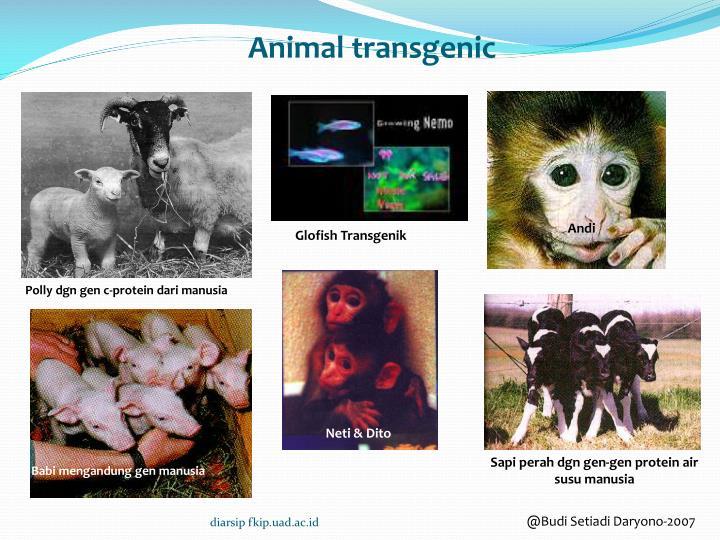 Animal transgenic