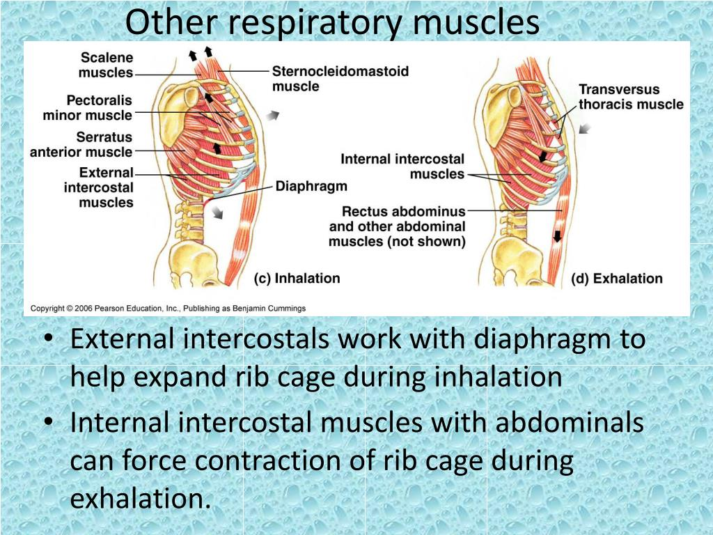 Other respiratory muscles