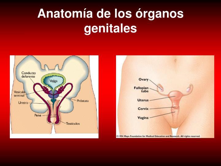 Anatomía de los órganos genitales