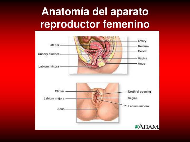 Anatomía del aparato reproductor femenino