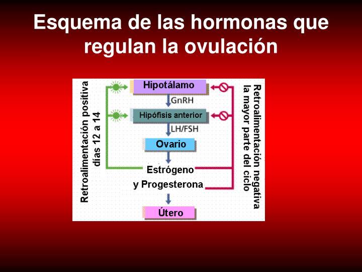 Esquema de las hormonas que regulan la ovulación