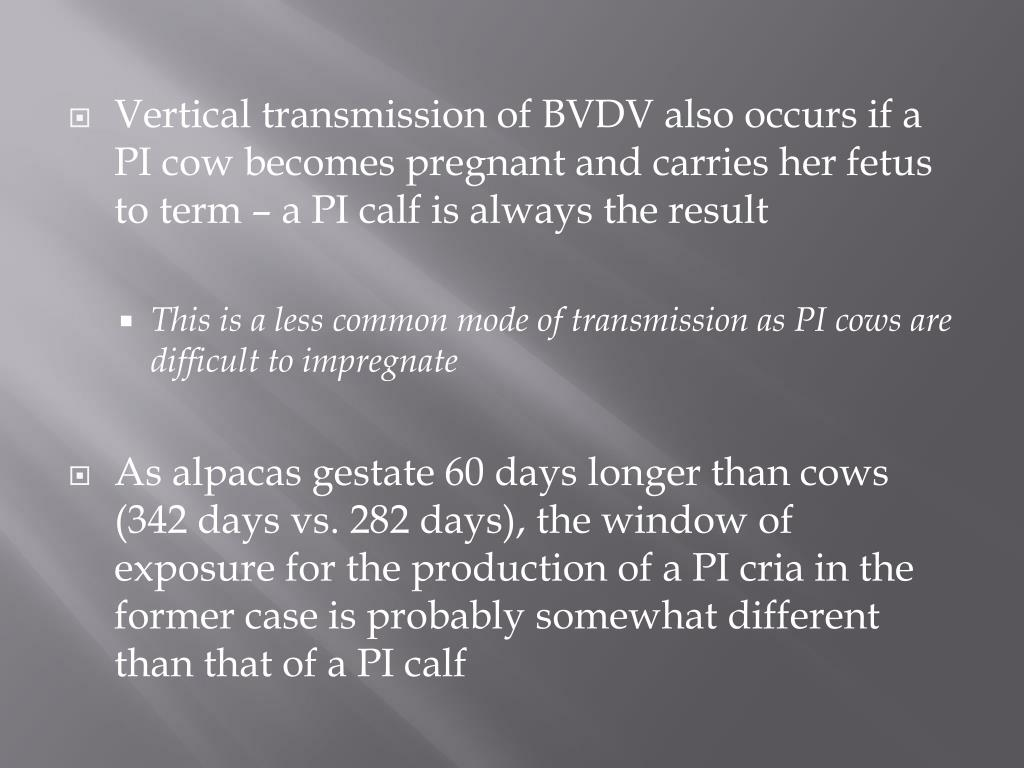 Vertical transmission of BVDV also occurs if a PI cow becomes pregnant and carries her fetus to term – a PI calf is always the result