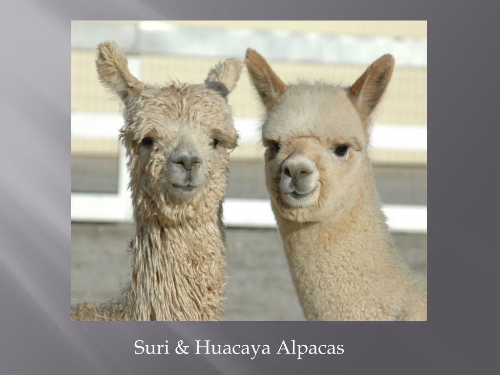 Suri & Huacaya Alpacas