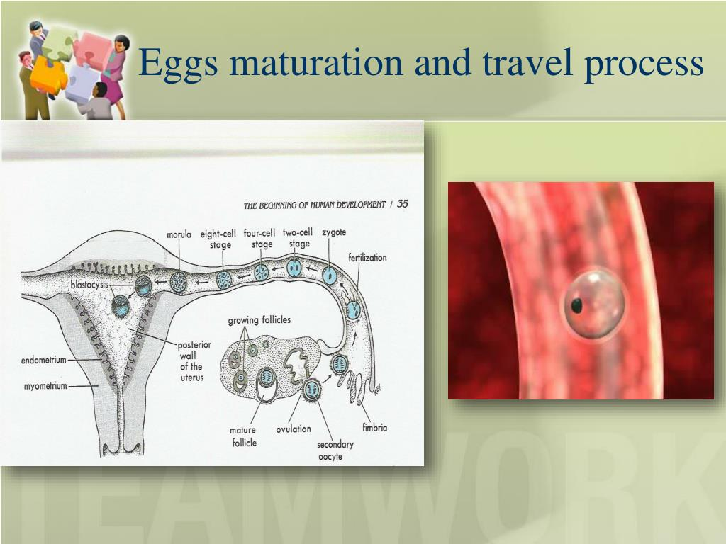 Eggs maturation and travel process