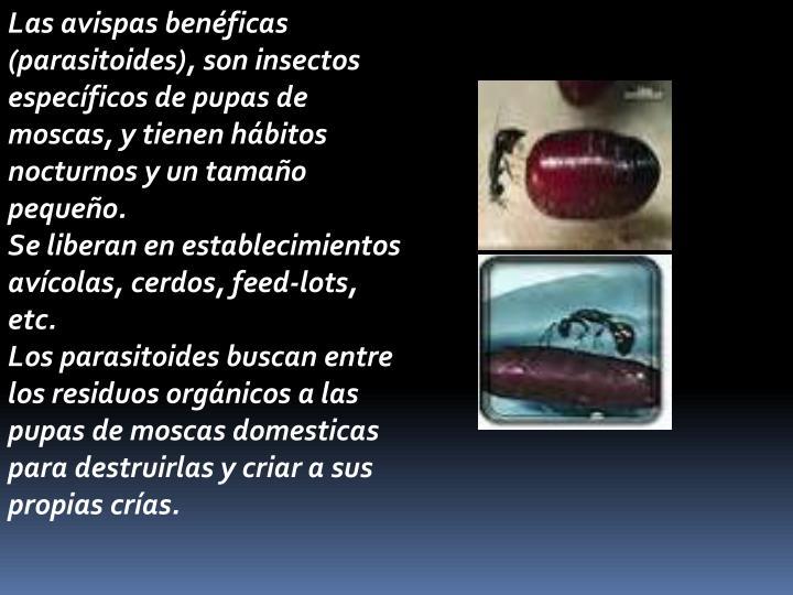 Las avispas benéficas (parasitoides), son insectos específicos de pupas de moscas, y tienen hábitos nocturnos y un tamaño pequeño.