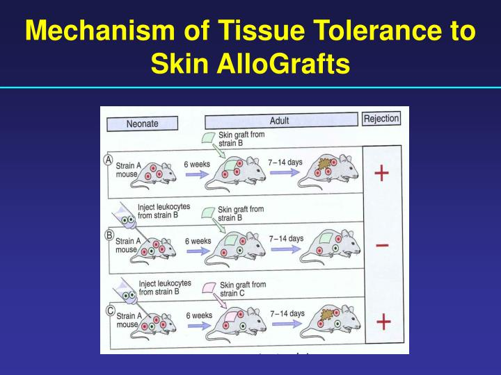 Mechanism of Tissue Tolerance to Skin AlloGrafts