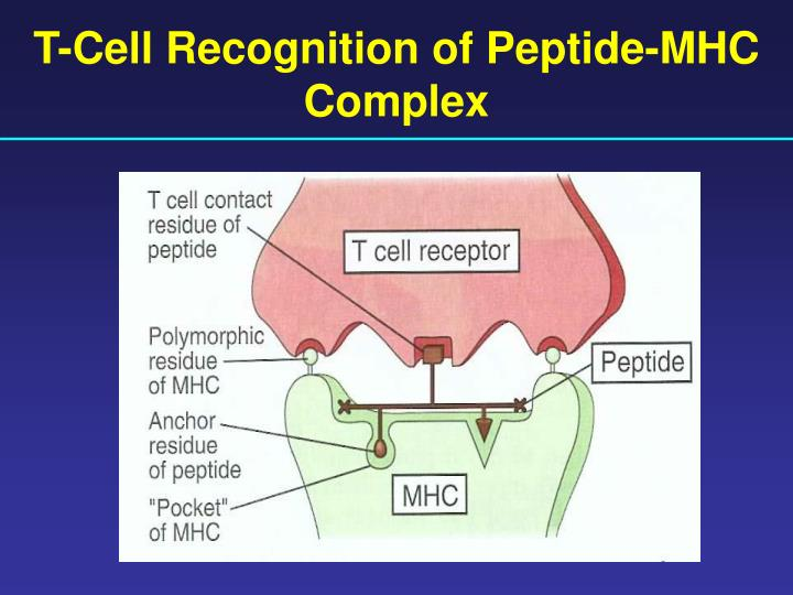 T-Cell Recognition of Peptide-MHC Complex