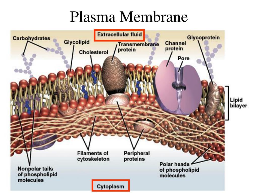 Plasma Membrane