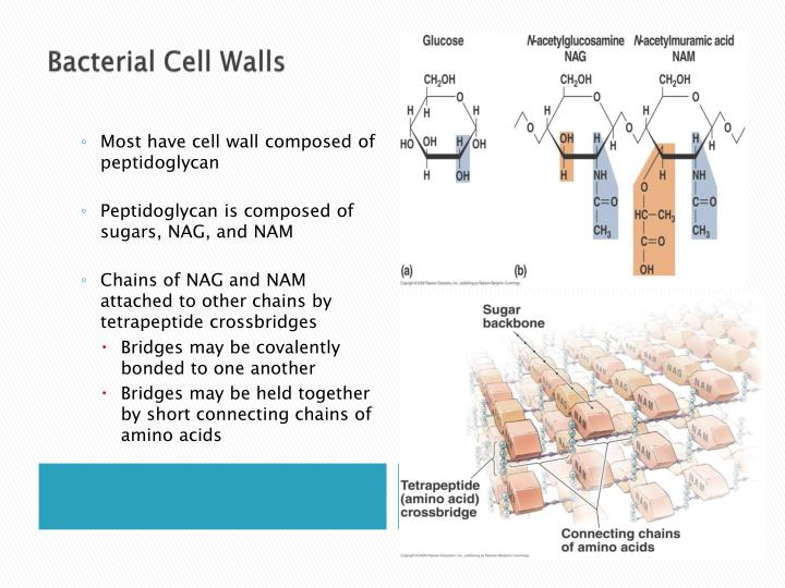 Bacterial Cell Walls