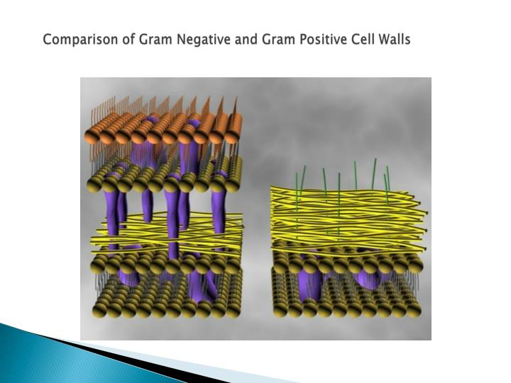 Comparison of Gram Negative and Gram Positive Cell Walls