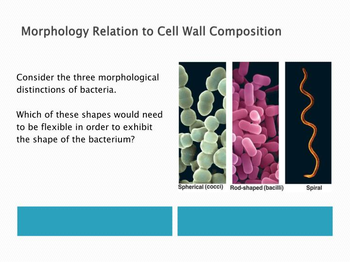 Morphology Relation to Cell Wall Composition