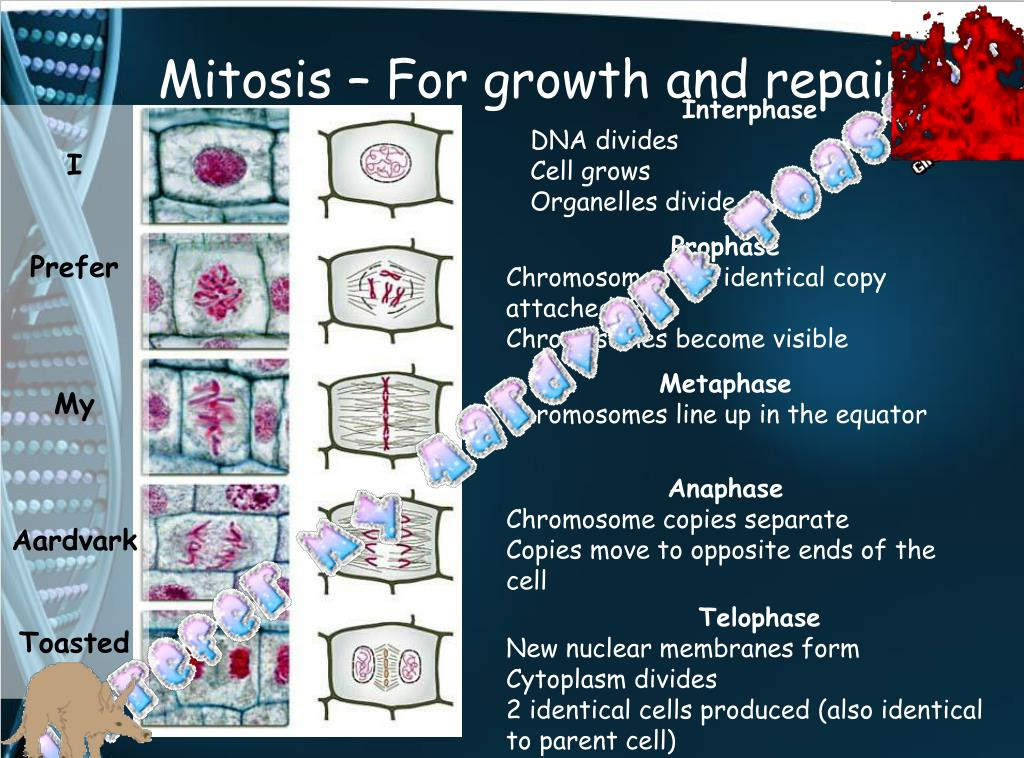 Mitosis – For growth and repair