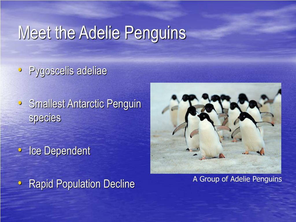 Meet the Adelie Penguins