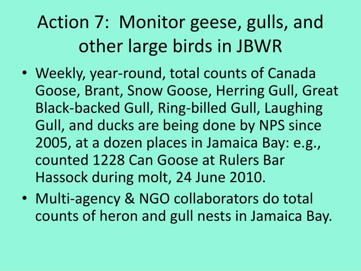 Action 7:  Monitor geese, gulls, and other large birds in JBWR
