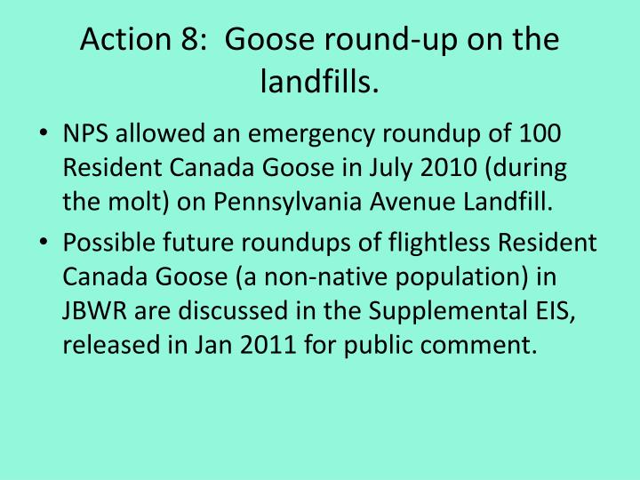 Action 8:  Goose round-up on the landfills.
