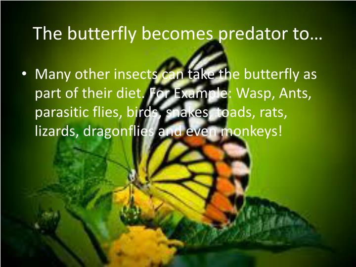 The butterfly becomes predator to…