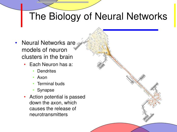 The Biology of Neural Networks