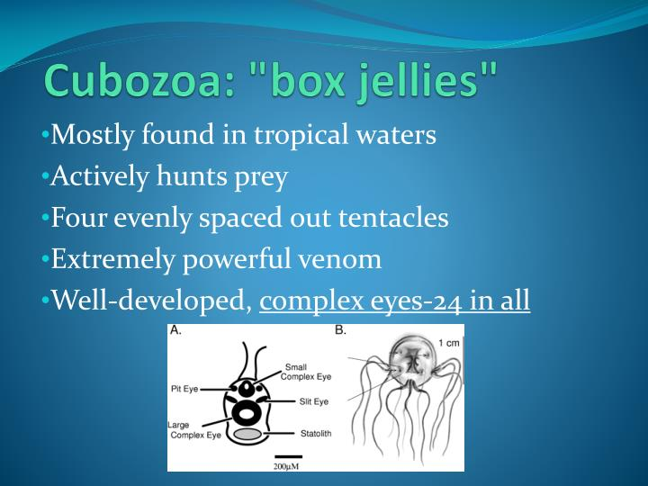 "Cubozoa: ""box jellies"""