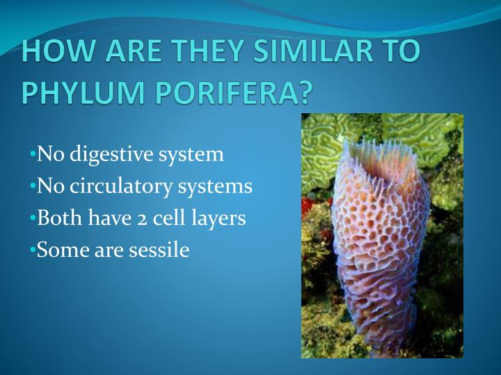 HOW ARE THEY SIMILAR TO PHYLUM PORIFERA?