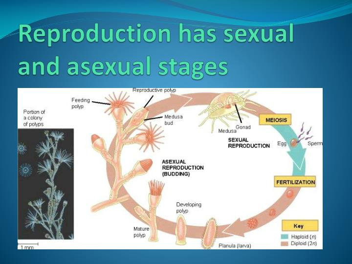 Reproduction has sexual and asexual stages