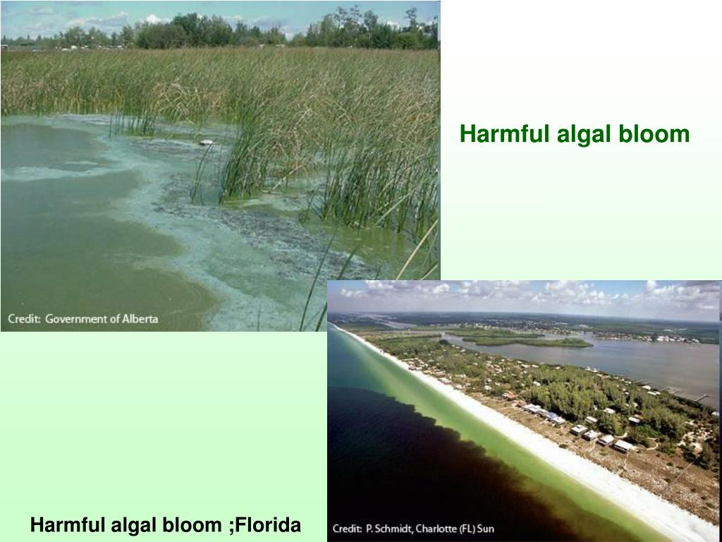Harmful algal bloom