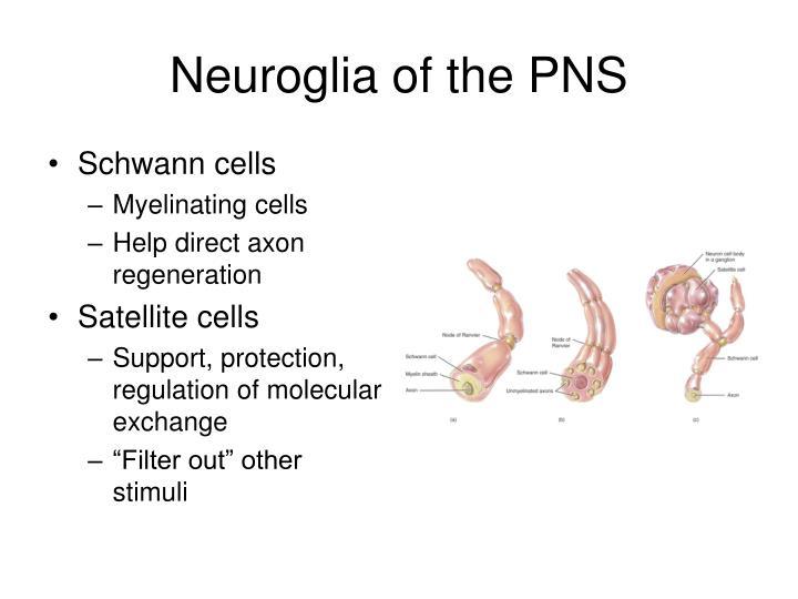 Neuroglia of the PNS