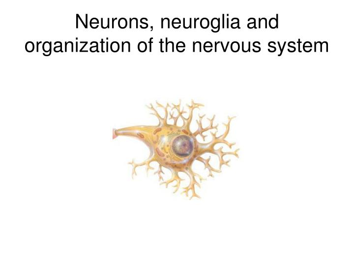Neurons neuroglia and organization of the nervous system