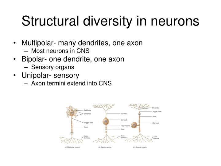 Structural diversity in neurons