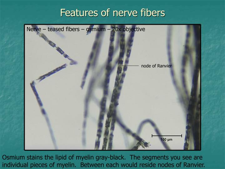 Features of nerve fibers