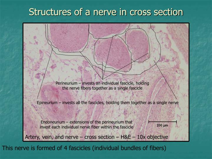 Structures of a nerve in cross section