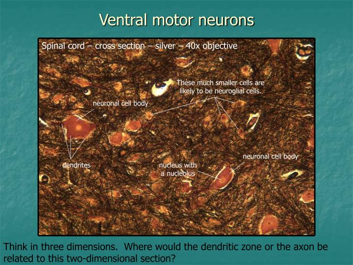 Ventral motor neurons