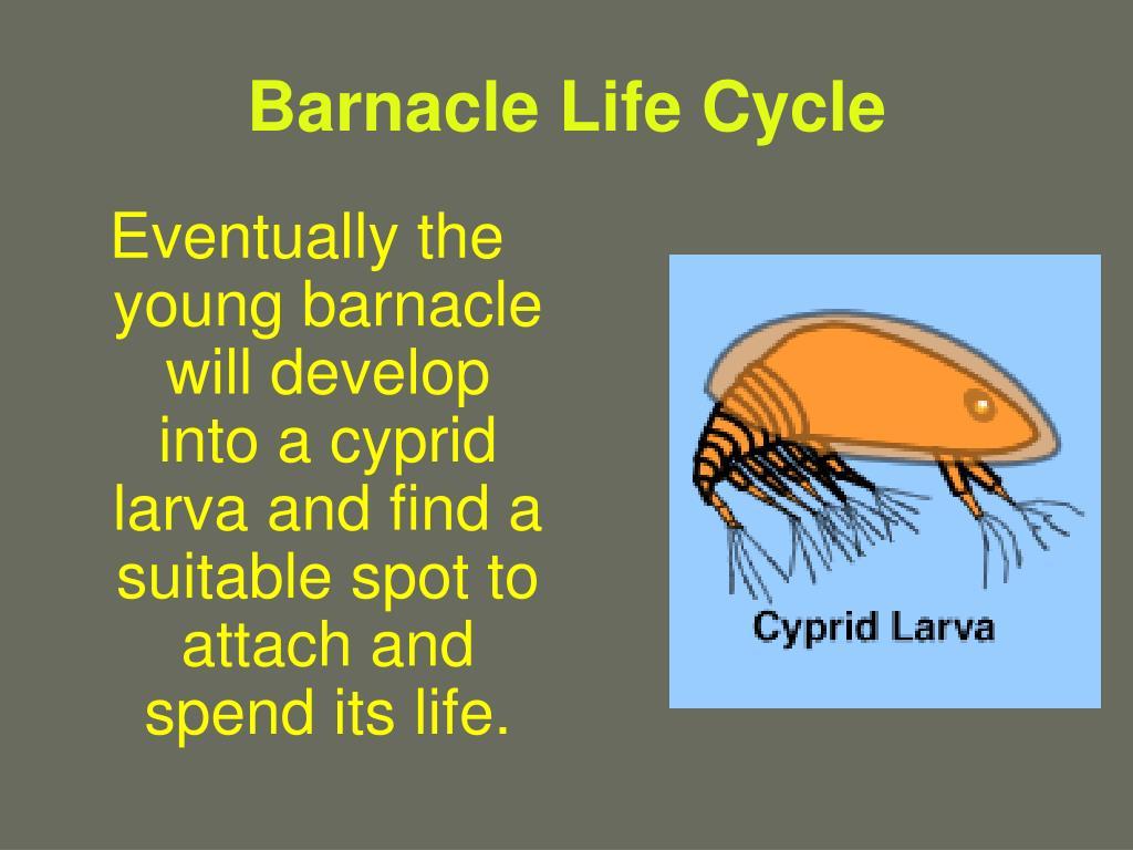 Barnacle Life Cycle