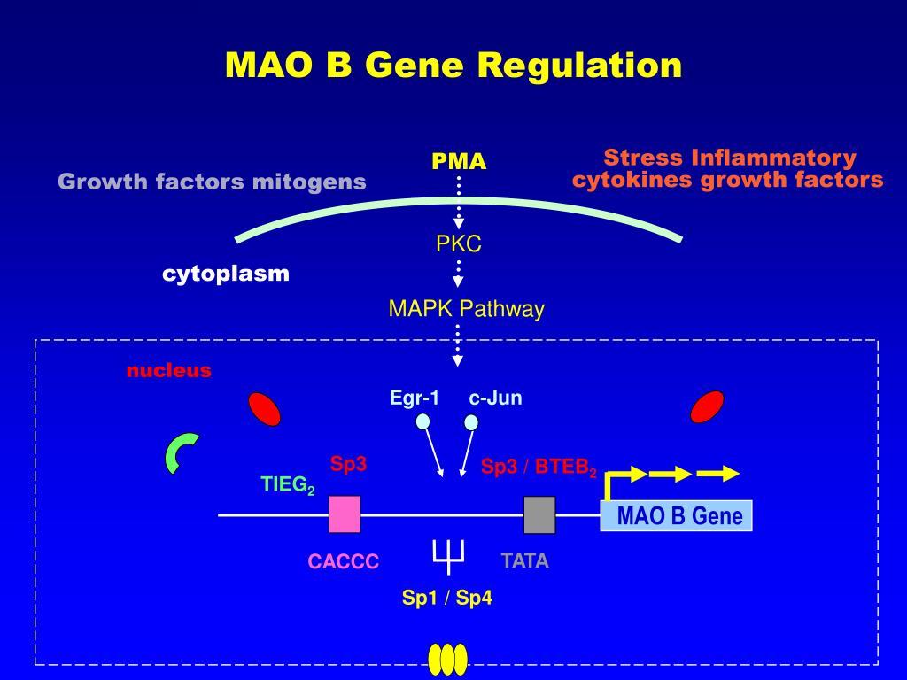 MAO B Gene Regulation