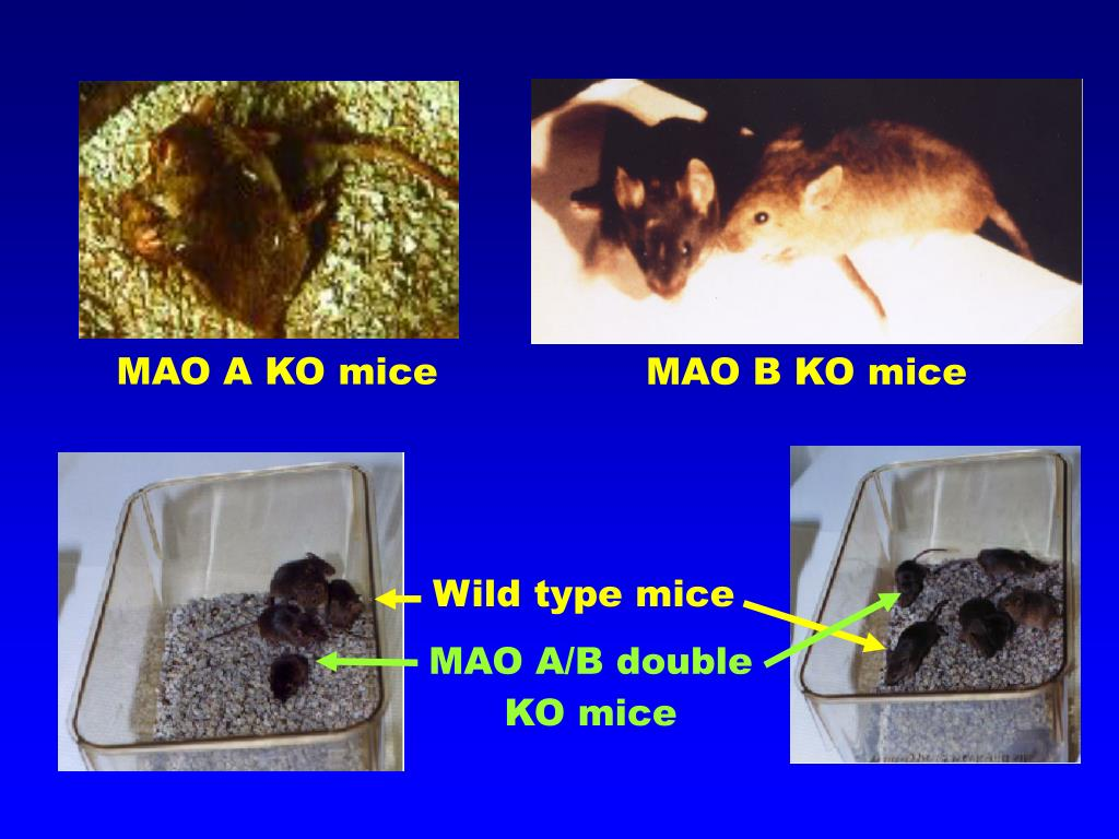 MAO B KO mice
