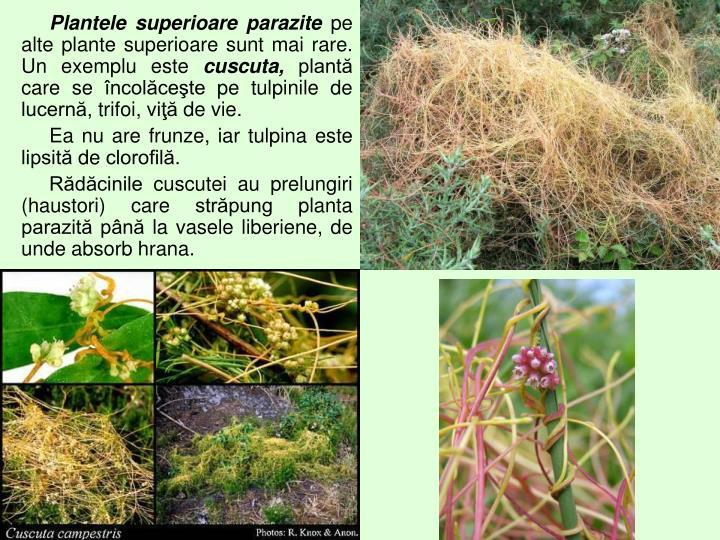 Plantele superioare parazite