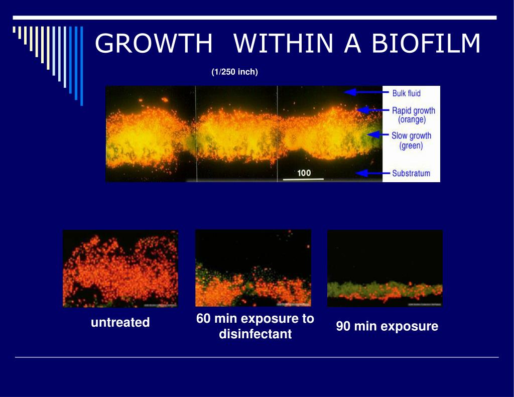 GROWTH  WITHIN A BIOFILM