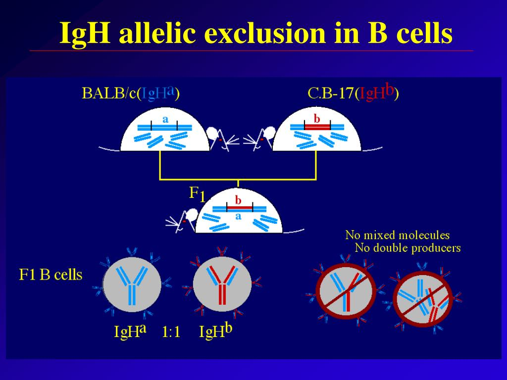 IgH allelic exclusion in B cells