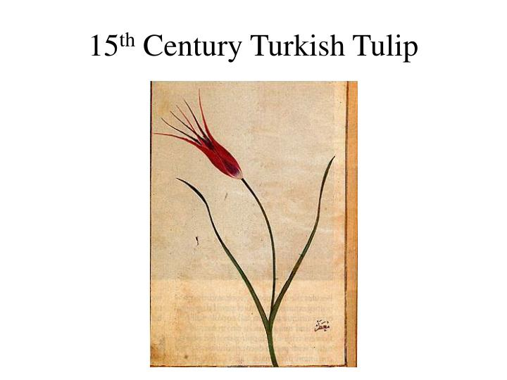 15 th century turkish tulip