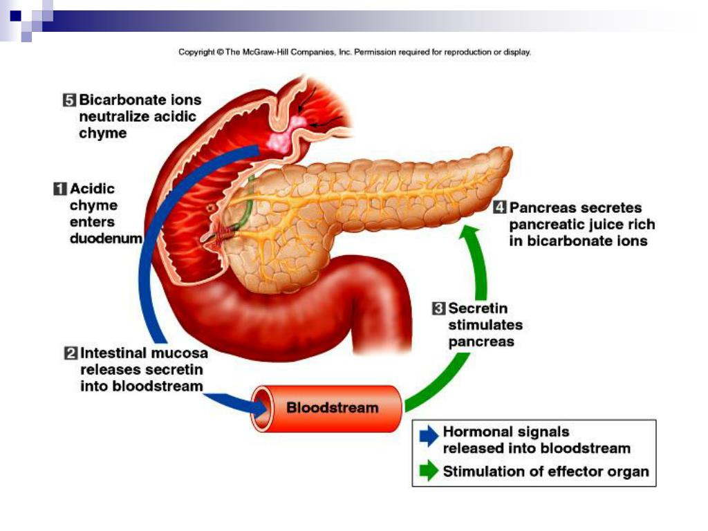3.Cholecystokinin from the wall of the small intestine stimulates the release of pancreatic juice with abundant digestive enzymes.